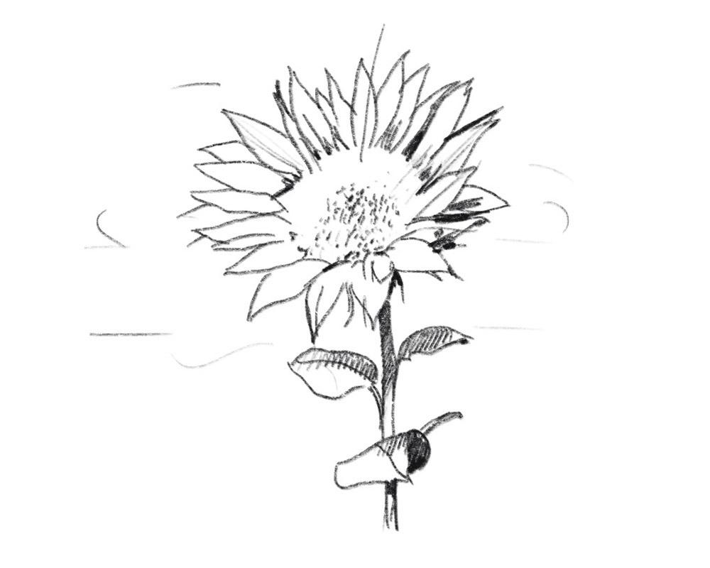 Gralhof Illu Bio Und Nachhaltigkeit Sonnenblume